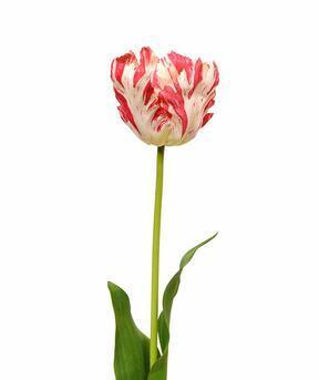 Kunstblume Tulpe rot-weiß 70 cm