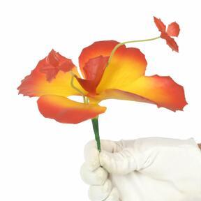 Schmetterlingsblume 20 cm